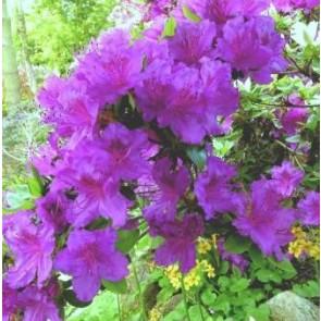 'Königstein' (Rhododendron 'Königstein') - Buske i 2 liters potte 20-25 cm