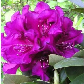 'Polarnacht' (Rhododendron 'Polarnacht' ) - Buske i 5 liters potte 30-40 cm
