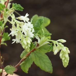 Hvid blodribs (Ribes sanguineum 'Elkingtons White') Buske i 5 liters potte