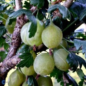 Stikkelsbær 'Hinnonmäki Gul' (Ribes uva-crispa 'Hinnonmäki Gul') - Buske i 5 liters potte