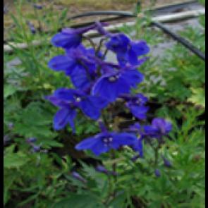 Ridderspore (Delphinium belladonna 'Bellamosum') - Staude i 1 liter potte - Sælges kun i pakke á 3 stk.