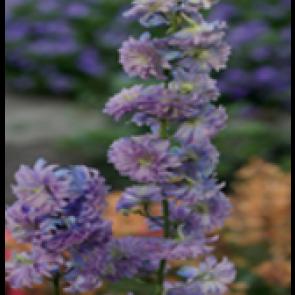 Ridderspore (Delphinium hybr. 'Moonlight') - Staude i 1 liter potte - Sælges kun i pakke á 3 stk.