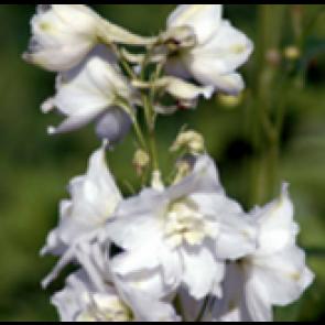 Ridderspore Delphinium pacific 'Magic Fountain' hvid) - Staude i 1 liter potte