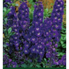 Ridderspore (Delphinium pacific 'Magic Fountain' mørkblå) - Staude i 1 liter potte