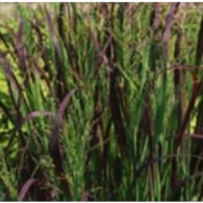 Risehirse (Panicum virgatum 'Heiliger Hein'') - Græs i 1 liter potte