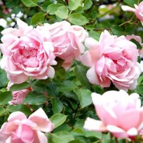 Slyngrose (Rosa 'Albertine') - Klatrerose i 4 l potte (Historisk rose)