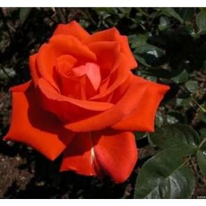 Storblomstret rose (Rosa  'Caroline de Monaco') - Barrodet A-kval. Sælges kun i bundter med 5 stk.