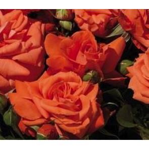 Buketrose (Rosa 'Anichkov')  - Rose i 4 l potte