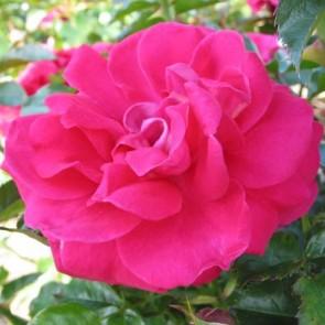 Buketrose (Rosa 'Avila' Palace)  - Rose i 4 l potte