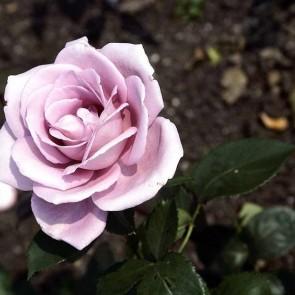 Storblomstret rose (Rosa  'Blue Moon') - Storblomstret rose i 4 l potte