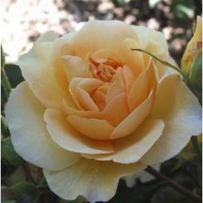 Slyngrose (Rosa 'Buff Beauty') - Barrodet A-kval. - Sælges kun i bundter a 5 stk
