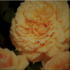 Storblomstret rose (Rosa  'Carl Nielsen') - Barrodet A-kval. Sælges kun i bundter med 5 stk.