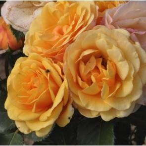 Buketrose (Rosa 'Chaterine')  - Rose i 4 l potte