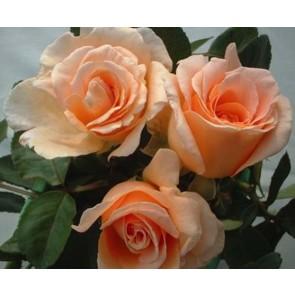 Storblomstret rose (Rosa 'Clodagh McGredy') - Barrodet A-kval. Sælges kun i bundt af 5 stk
