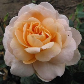 Buketrose (Rosa 'Crystal Palace')  - Barrodsrose - A-kval. Sælges kun i bundter a 5 stk