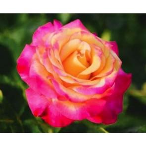 Storblomstret rose (Rosa 'Dream Come True') - Barrodet A-kval. Sælges kun i bundt af 5 stk