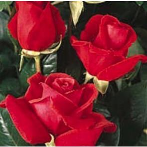 Storblomstret rose (Rosa  'Duftwolke'®) - Barrodet A-kval. Sælges kun i bundt af 5 stk