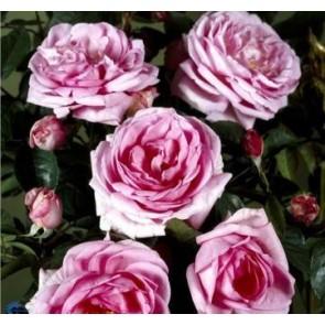 Buketrose (Rosa 'Ghita Renaissance') - Barrodsrose - A-kval. Sælges kun i bundter a 5 stk