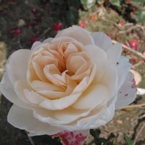 Buketrose (Rosa 'Graceful Palace')  - Barrodsrose - A-kval. Sælges kun i bundter a 5 stk