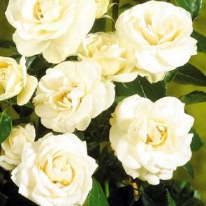 Buketrose (Rosa 'Hampton' Palace)  - Rose i 4 l potte