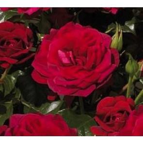 Buketrose (Rosa 'Isla' Palace)  - Rose i 4 l potte