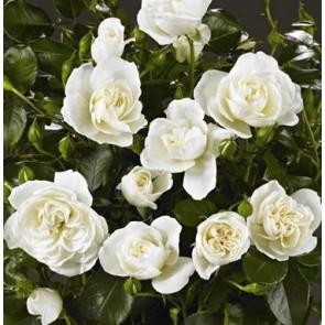 Buketrose (Rosa 'Kailani' Palace)  - Rose i 4 l potte