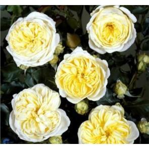 Buketrose (Rosa 'Kronprinsesse Mary') -  Slotsrose i 4 l potte