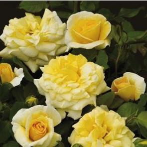 Buketrose (Rosa 'Mysore Palace')  - Rose i 4 l potte