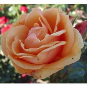 Buketrose (Rosa 'Olympic' Palace)   - Rose i 4 l potte