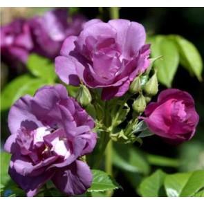 Buketrose (Rosa 'Rhapsody in Blue') - Barrodsrose A-kvalitet - Sælges kun i bundter á 5 stk