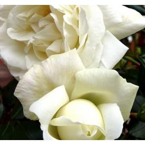 Slyngrose (Rosa 'White New Dawn') - Barrodet A-kval. Sælges kun i bundter a 5 stk