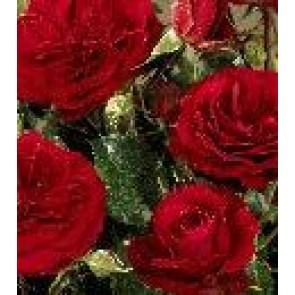 Buketrose (Rosa 'Atalya' Palace)  - Rose i 4 l potte