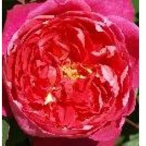 Engelsk rose (Rosa 'Abraham Darby') - Austinrose (engelsk rose) i 4 l potte