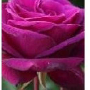 Storblomstret rose (Rosa 'Blackberry Nip') - Storblomstret rose i 4 l potte