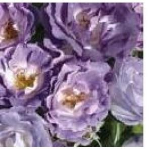 Buketrose (Rosa 'Blue for You') - Buketrose i 4 l potte
