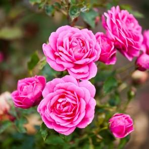 Fairyrose (Rosa 'Pink Fairy') - Bunddækkerose i 4 l potte