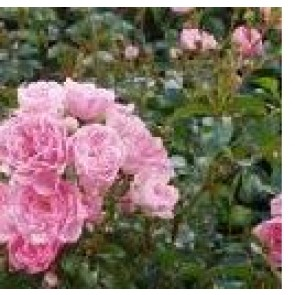 Fairyrose (Rosa 'The Fairy') - Bunddækkerose i 4 l potte