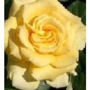 Storblomstret rose (Rosa 'Wonderful' - Storblomstret rose i 4 l potte