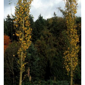 Søjlebævreasp (Populus tremula 'Erecta') - Træ i potte 175-200 cm