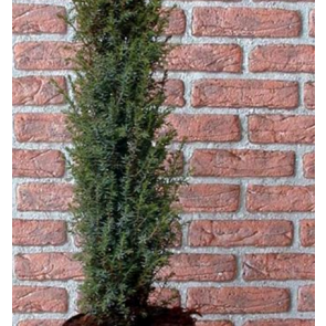Søjleenebær (Juniperus communis 'Arnold') - 3 liter potte 30-40 cm