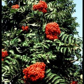 Pyramideløn (Sorbus aucuparia 'Fastigiata') - Træ i potte 125-150 cm