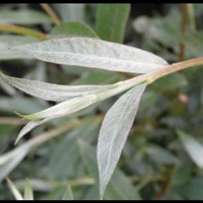 Sølvpil (Salix alba 'Sericea') - Træ i potte 150-175 cm