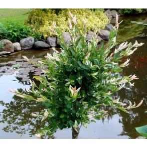 Broget Japansk pil (Salix 'Hakuro Nishiki') - Træ podet på 80 cm stamme