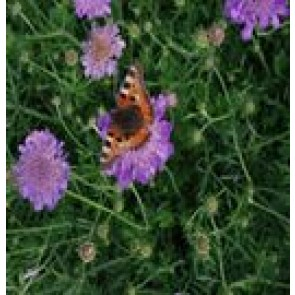 Due-Skabiose (Scabiosa columbaria 'Butterfly Blue') - Staude i 1 liter potte