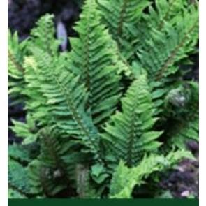 Skjoldbregne (Polystichum aculeatum) - Bregne i 1 liter potte.  Sælges kun i pakke á 3 stk.