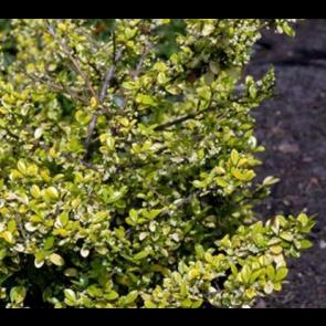 Småbladet Kristtorn (Ilex crenata 'Golden Gem'') - Busk i 2 liter potte