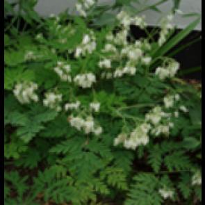 Småhjerte (Dicentra eximia 'Alba') - - Staude i 10 x 10 cm potte