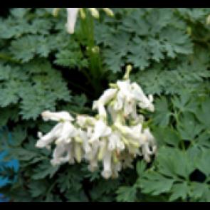 Småhjerte (Dicentra hybr. 'Ivory Hearts'®) - Staude i 1 liter potte