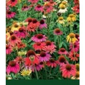Solhat (Echinacea purpurea 'Cheyenne Spirit') - Staude i 1 liter potte - Sælges kun i pakke á 3 stk.