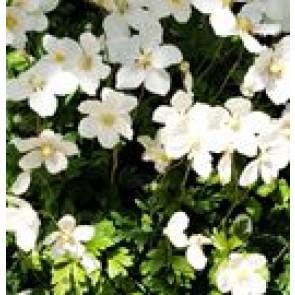 Sommeranemone (Anemone sylvestris) - Staude i 10 x 10 cm potte